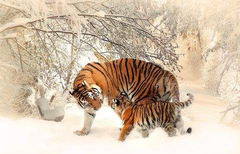 Snow,Tigers,(wilda13),Snow Tigers