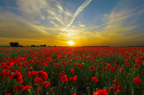 Poppy,Sunrise,arty4,Poppy Sunrise greetings cards
