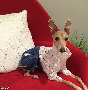 Denim,'n,Eyelet,Cotton,Dog,Jumpsuit-CUSTOM,MADE,eyelet dog shirt, denim dog, spoiled bratzwear, best italian greyhound clothes, chinese crested, designer dog, posh puppy