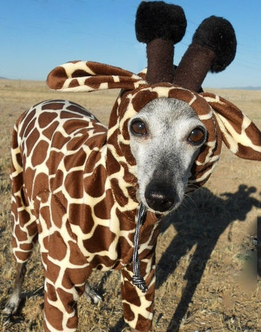 Giraffe,Pet,Costume-Italian,greyhound,costume,italian greyhound costume, giraffe dog costume, chinese crested costume, dog halloween, pet giraffe, tiny giraffe