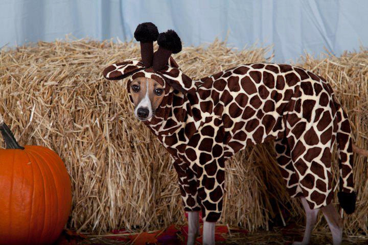 Giraffe Pet Costume-Italian greyhound costume - product image