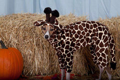 Giraffe Pet Costume-Italian greyhound costume - product images 3 of 6