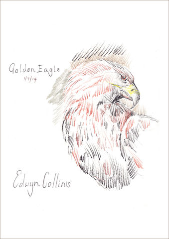 Golden,Eagle,Giclée,by,Edwyn,Collins,Edwyn Collins, Golden Eagle Giclée, Edwyn Collins artwork, Edwyn Collins bird drawings