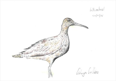 Whimbrel,Giclée,by,Edwyn,Collins,Edwyn Collins print, Edwyn Collins bird drawing, Whimbrel print