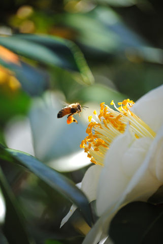 Honeybee,at,white,camellia,fine,art,photograph,Art,Photography,Nature,honeybee,bee,pollen,white_camellia,flower,fine_art_photo,sunlight,glowing,pollen_laden,stamens,nature,inks,photo paper