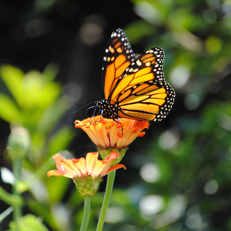 Monarch Butterfly Fine Art Photograph - product images