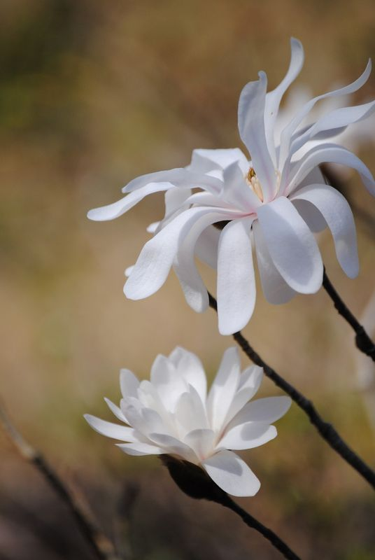 Star Magnolia 2 photograph - product images