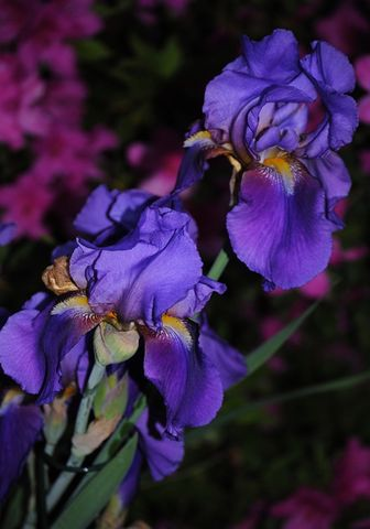 Night,Garden,2,iris,photo,Art,Photography,Digital,nature,flowers,spring_flower,purple,inks,photo paper
