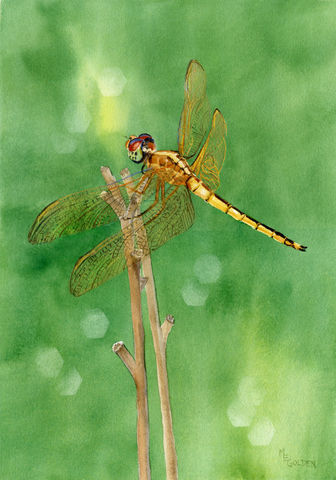 Dragonfly,Golden,winged,Skimmer,shimmers,on,a,faded,daylily,stem.,Art,Print,Giclee,dragonfly,golden_winged,wings,flight,daylily_stem,green,mary_ellen_golden,watercolor,golden_dragonfly,collection,inks,watercolor paper