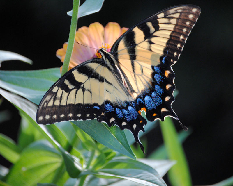 Swallowtail Butterfly fine art photograph - product images