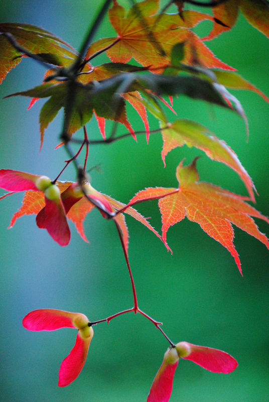 Red and Green Japanese Maple photograph - product images