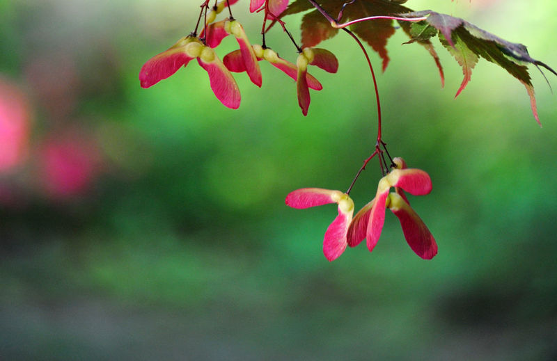 Japanese Maple red and green  - product images