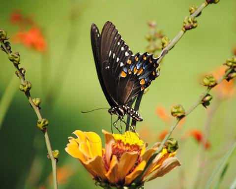 Black,Swallowtail,Butterfly,Art,Print,fine art photo,butterfly,black_swallowtail,zinnias,yellow,flowers,green,butterfly_photos,nature_photography,fine_art_photography,8x10_photo,photo paper,inks
