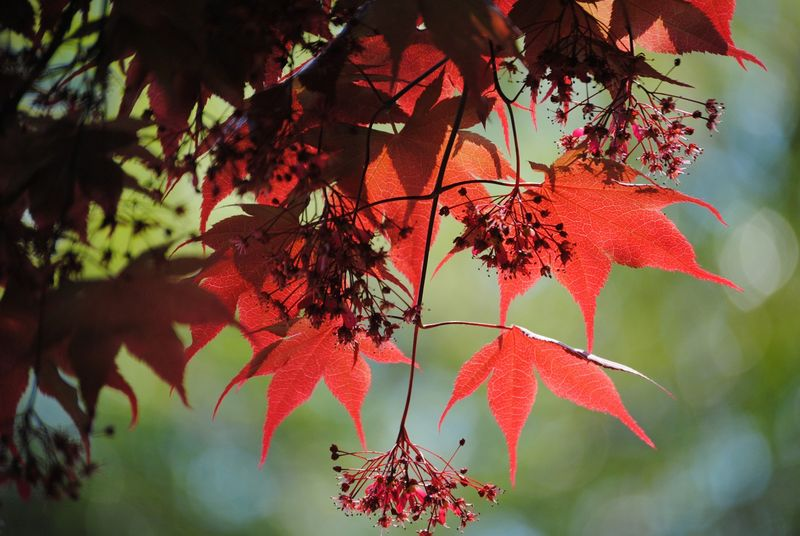 Japanese Maple 3 photograph - product images