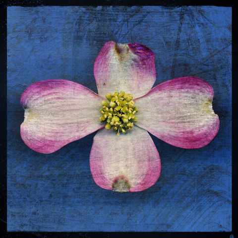 Pink,Dogwood,Blossom,No.,1,-,8,in,x,Altered,Photograph,Art,Photography,Digital,surreal,nature,texture,altered,dogwood,pink,blue,paper,ink