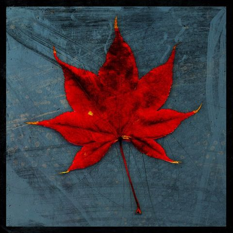 Japanese,Maple,Leaf,No.,1,-,8,in,x,Altered,Photograph,Art,Photography,Digital,surreal,nature,texture,altered,leaf,red,gray,japanese,maple,blue,paper,ink