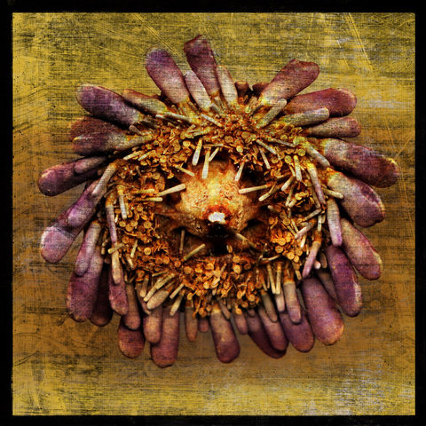 Sea,Urchin,No.,2,-,8,in,x,Altered,Photograph,Art,Photography,Digital,surreal,nature,texture,altered,seashell,sea_urchin,lavender,purple,yellow,paper,ink