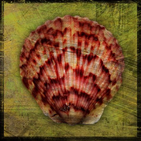Scallop,No.,1,-,8,in,x,Altered,Photograph,Art,Photography,Digital,surreal,nature,texture,altered,seashell,scallop,green,reddish,paper,ink