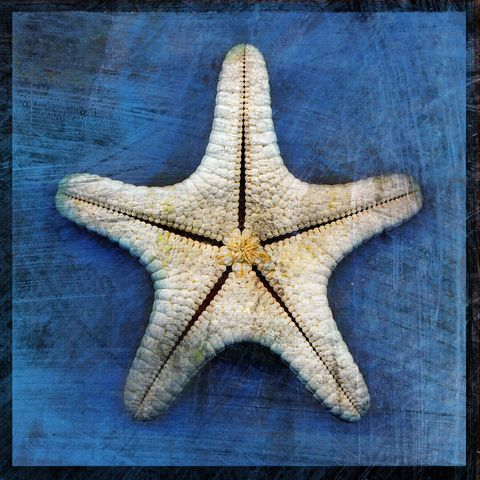 Armored,Starfish,-,Underside,No.,1,8,in,x,Altered,Photograph,Art,Photography,Digital,surreal,nature,texture,altered,blue,white,seashell,starfish,paper,ink