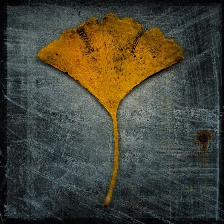 Nature Photography - Ginkgo No. 2 - 8 in x 8 in Altered Photograph - product images