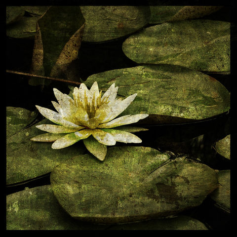 Flower,Photograph,-,Lily,8,in,x,Altered,Art,Photography,Digital,surreal,water_lily,green,nature,texture,floral,Flower_Photograph,paper,ink