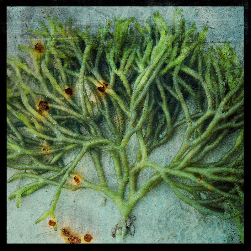 Seaweed No. 1 - 8 in x 8 in Altered Photograph - product images