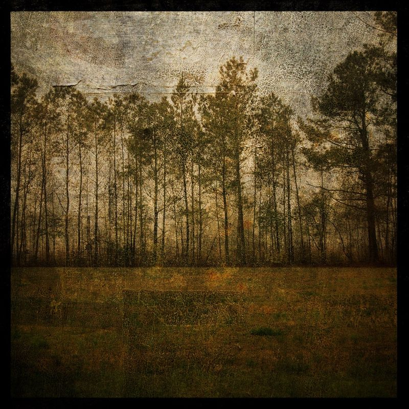 Nature Photographs - Line of Pine - 8 in x 8 in Altered Photograph - product images