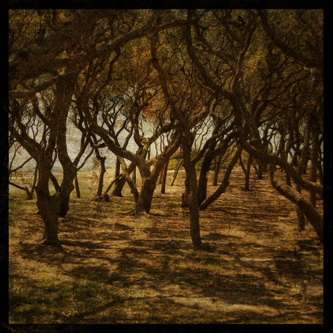 Fort,Fisher,Trees,No.,3,-,8,in,x,Altered,Photograph,Art,Photography,Surreal,digital,trees,nature,texture,brown,paper,ink