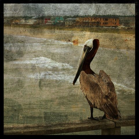 Pelican,No.,1,-,8,in,x,Altered,Photograph,Art,Photography,Surreal,digital,brown,texture,moody,ocean,pelican,bird,beach,paper,ink