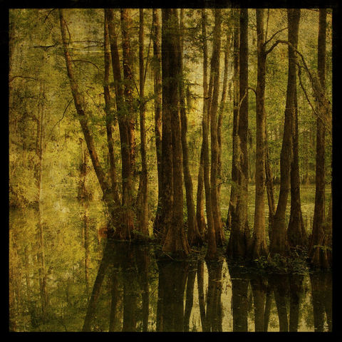 Greenfield,Cypresses,8,in,x,Altered,Photograph,Art,Photography,Nature,surreal,digital,cypress,tree,trees,green,texture,altered,paper,ink