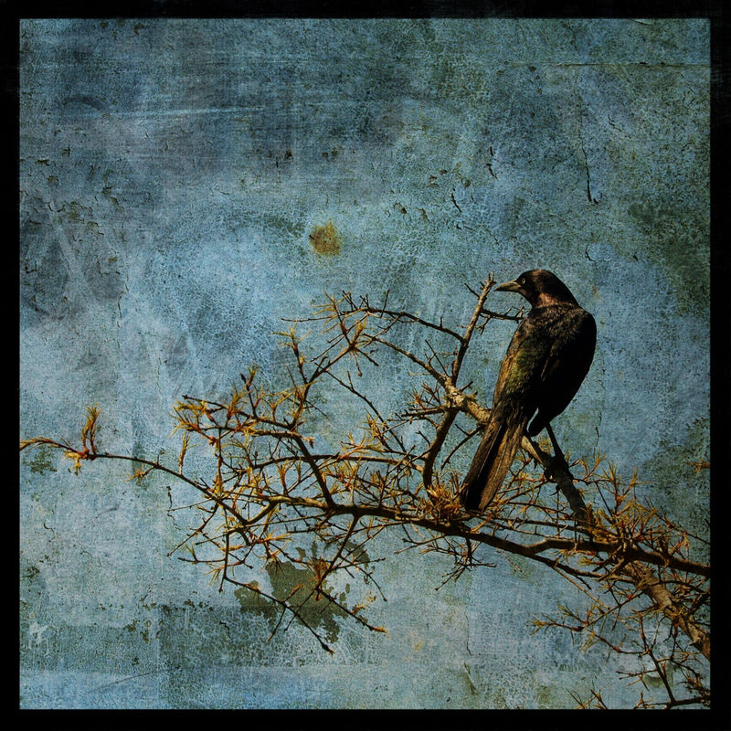 Grackle 8 in x 8 in Altered Photograph - product images