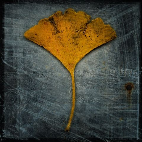Ginkgo,No.,2,-,8,in,x,Altered,Photograph,Art,Photography,Digital,surreal,nature,texture,altered,leaf,ginkgo,yellow,gray,paper,ink
