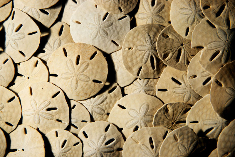 27 Bucks sand dollar photograph - product images