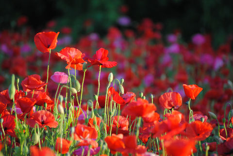 Poppies,in,May,collection,,#7,poppies, poppy, red, green, red poppies, dancing poppies, flowers