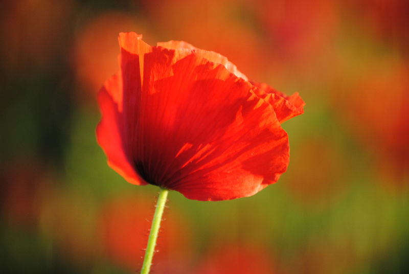 Poppies in May collection, #1 - product images