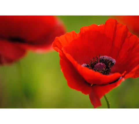 Poppies,in,May,collection,,#9,poppies, poppy, red, green, red poppies, dancing poppies, flowers
