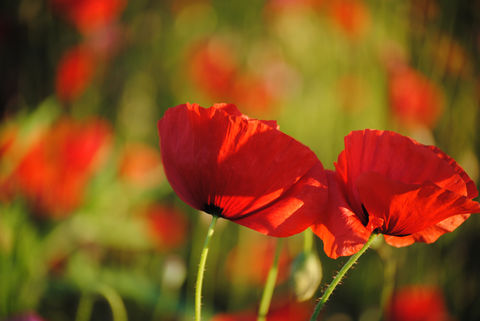 Poppies,in,May,collection,,#6,poppies, poppy, red, green, red poppies, dancing poppies, flowers