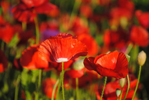 Poppies,in,May,collection,,#3,poppies, poppy, red, green, red poppies, dancing poppies, flowers